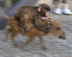 福知山市猪崎の市動物園のニホンザルとウリボウ(猪の子供)を見に行ってきた!